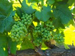 Ripening Chardonnay grapes in a Carneros vineyard.